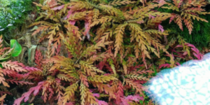 ハイグロフィラピンナティフィダのメイン画像