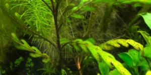 ピンナティフィダ茎