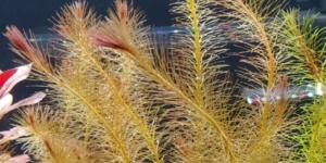 黄色い水草ロタラワリッキー