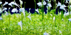 ウォーターローン水上花