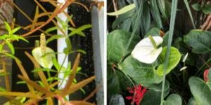 アヌビアスナナの花