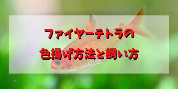 ファイヤーテトラの 色揚げ方法と飼い方 (3)