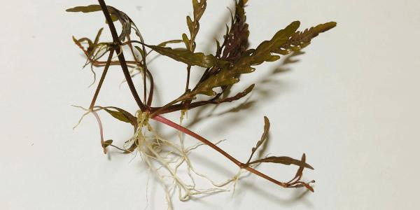 ハイグロフィラピンナティフィダの根