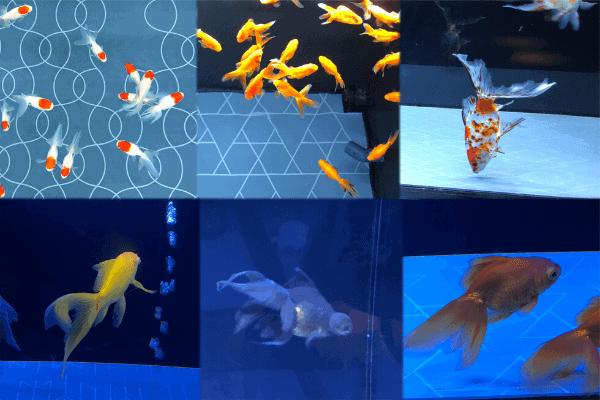 江戸水槽の金魚たち