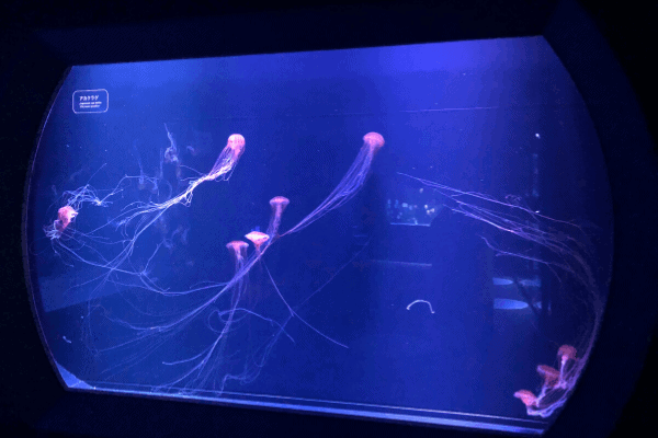 すみだ水族館「赤クラゲ」