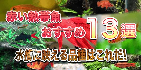 赤い熱帯魚おすすめ