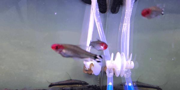 片目がなくても泳ぐ魚
