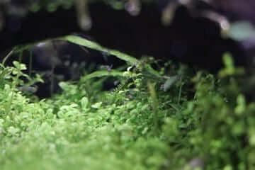 アピストグラマの稚魚