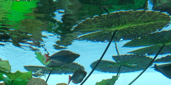 タイガーロータスの浮き葉