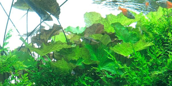 タイガーロータス浮き葉