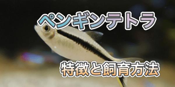 ペンギンテトラの飼育方法と繁殖の仕方