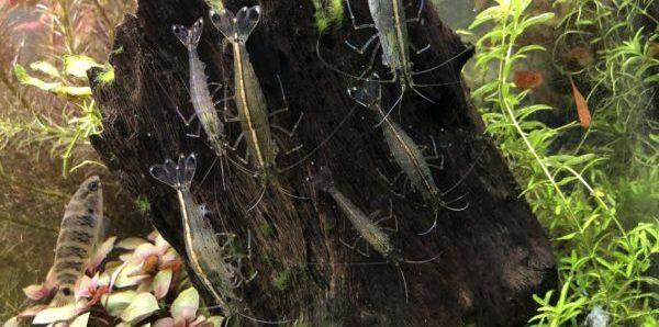 ヤマトヌマエビの群れ