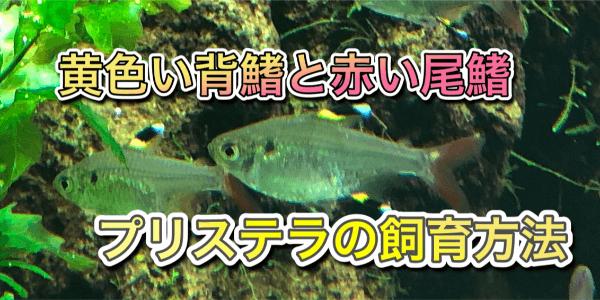 プリステラ(熱帯魚)の飼育方法