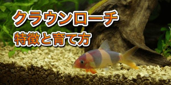 クラウンローチの混浴相性と飼育方法