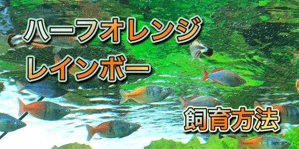 ハーフオレンジレインボーの育て方と繁殖