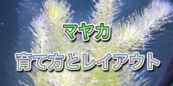 水草マヤカ