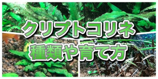クリプトコリネの種類と育て方