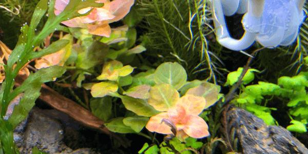 ルドヴィジアオバリス水中葉