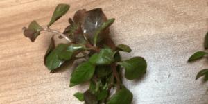 ルドヴィジアオバリス水上葉