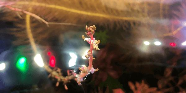 レッドミリオフィラムの花