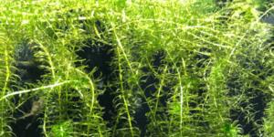 アナカリス(オオカナダモ)