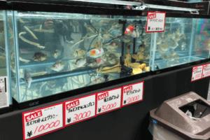 アクアリウム東京の生体販売