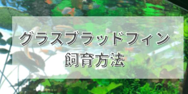 グラスブラッドフィンの飼育方法