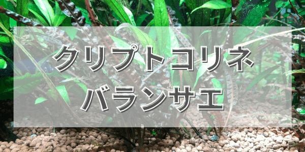 クリプトコリネバランサエの植え方と育て方