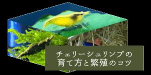 チェリーシュリンプの繁殖と色掛け合わせ