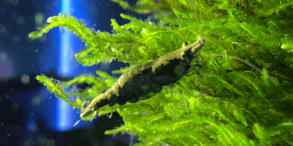 チェリーシュリンプの色の掛け合わせ個体