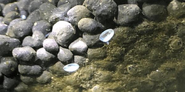 カワコザラガイの殻