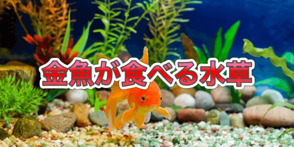 金魚が食べる水草