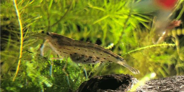 抱卵したヤマトヌマエビ